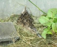 卵を抱きながら活動を見守る、 鶴岡市上下水道部の「応援隊長」
